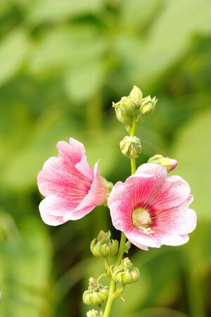 Pink Hollyhock Flower Alcea rosea photo