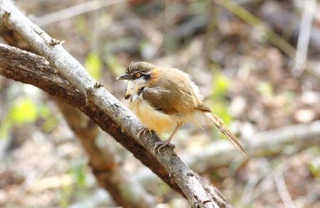 laughingthrush: Lesser Necklaced Laughingthrush Garrulax monileger
