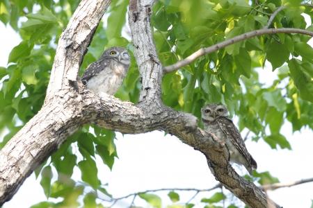 owlet: Spotted owlet Athene brama Stock Photo