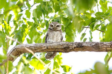 Spotted owlet Athene brama photo