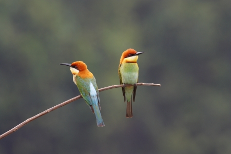 Chestnut-headed Bee-eater Merops leschenaulti Stock Photo - 18269040
