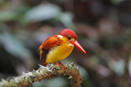 alcedinidae: Rufous-backed Kingfisher Ceyx rufidorsus