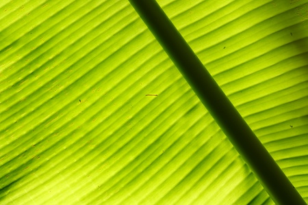 zoom in: Texture of banana leaf