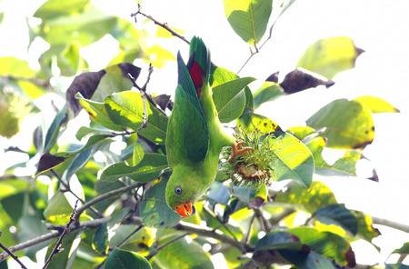 vernal: Vernal Hanging Parrot Loriculus vernalis Stock Photo