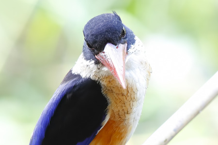 capped: Black capped Kingfisher Halcyon pileata