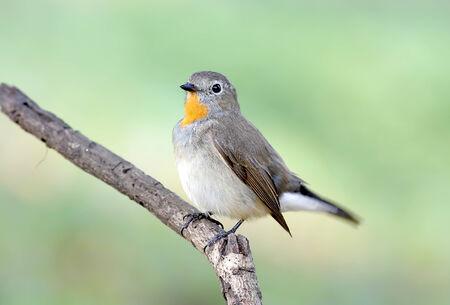 taiga: Red-breasted Flycatcher Taiga Flycatcher Ficedula parva