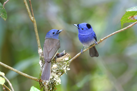 Black-naped Monarch Hypothymis azurea photo