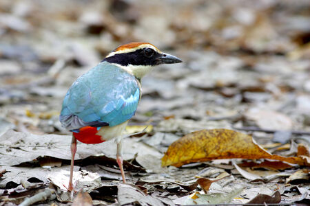 nympha: Fairy Pitta Pitta nympha