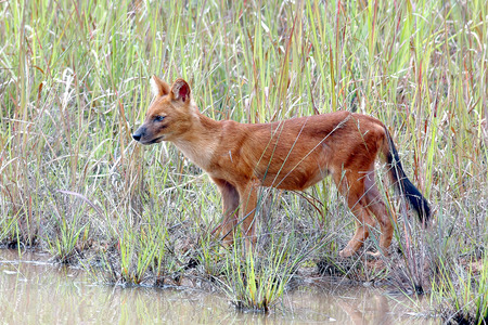 cuon: Dhole Asian wild dog Cuon alpinus