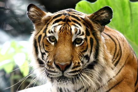 panthera tigris: Tiger Panthera tigris