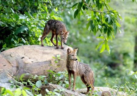 asiatic: Golden Jackal Asiatic Jackal Canis aureus
