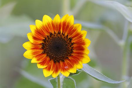 helianthus annuus: Common Sunflower Helianthus annuus Stock Photo