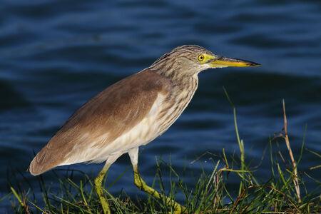 bacchus: Chinese Pond Heron Ardeola bacchus