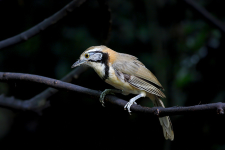 laughingthrush: Greater Necklaced Laughingthrush Garrulax pectoralis