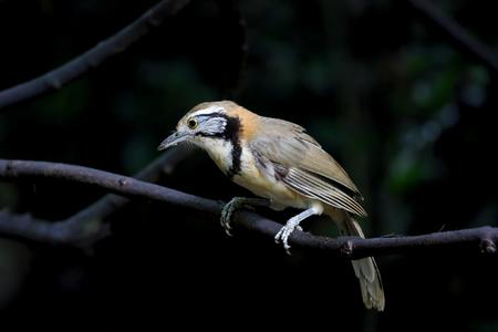 laughingthrush: Greater Necklaced Laughingthrush Garrulax pectoralis