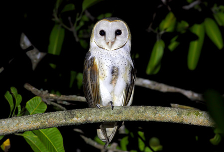 Barn Owl Tyto alba photo