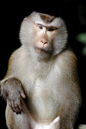 Long-tailed macaque Crab-eating macaque Macaca fascicularis photo