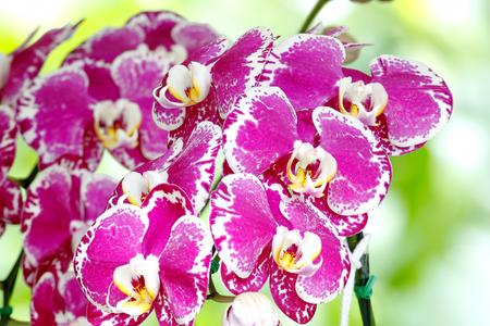 dwarf: Dwarf orchids Dendrobium Stock Photo