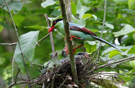 chinensis: Common green magpie Cissa chinensis Stock Photo