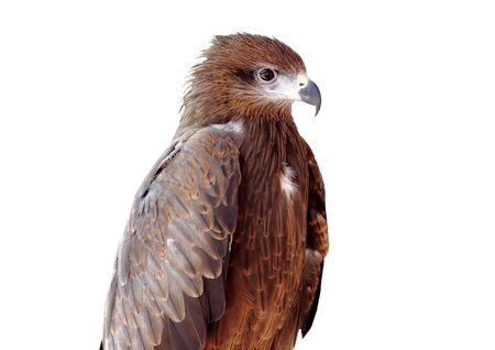 milvus: Black kite Pariah kite Milvus migrans