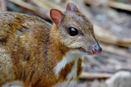 lesser: Lesser mouse-deer Tragulus kanchil