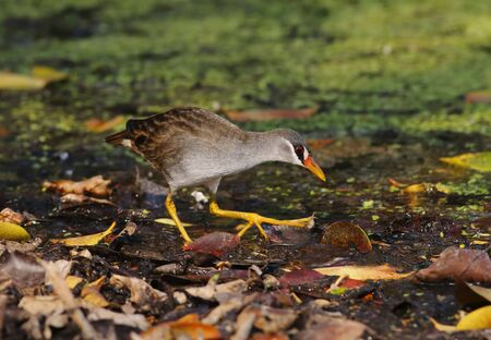 cinerea: White-browed Crake Amaurornis cinerea