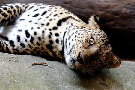 pardus: Leopard Panther Panthera pardus Stock Photo