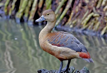 lesser: Lesser whistling duck Dendrocygna javanica