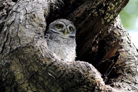 spotted: Spotted owlet Athene brama Stock Photo