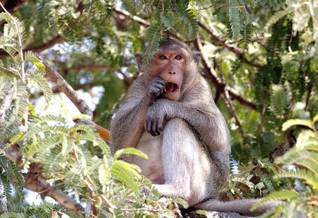 macaque: Longtailed macaque Crabeating macaque Macaca fascicularis