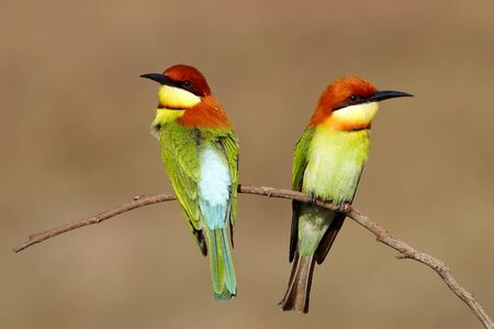 chestnut male: Chestnutheaded Beeeater Merops leschenaulti Stock Photo
