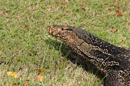 salvator: Water monitor Lizard Varanus salvator Stock Photo