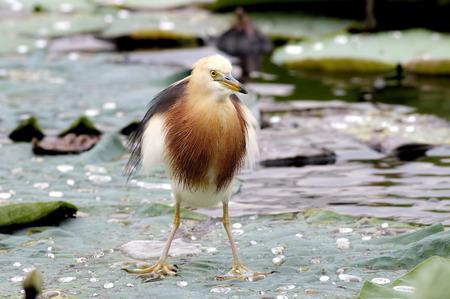 pond: Javan Pond heron Ardeola speciosa Stock Photo