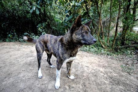 brindle: Street Dog Tiger Brindle