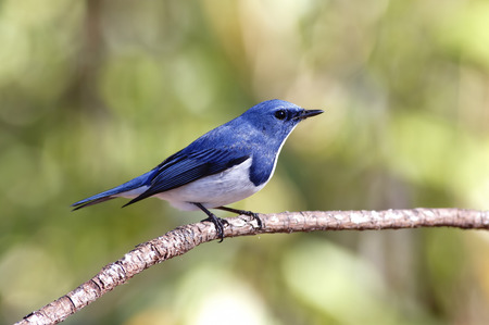 ultramarine: Ultramarine Flycatcher Ficedula superciliaris