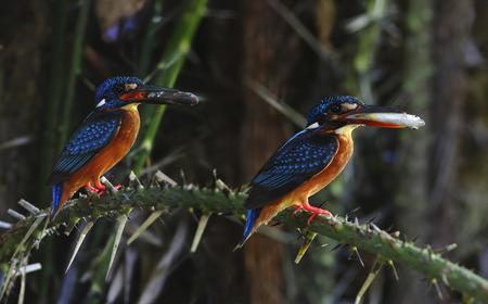 alcedo: Blue-eared Kingfisher Alcedo meninting Stock Photo