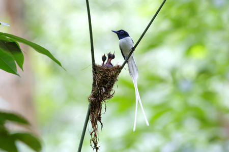 morph: Asian paradise flycatcher Terpsiphone paradisi white morph Nest Baby Stock Photo