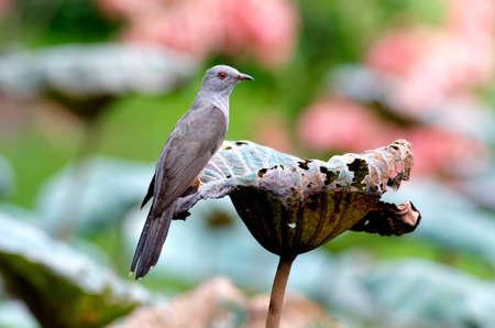 plaintive: Plaintive Cuckoo Cacomantis merulinus Stock Photo