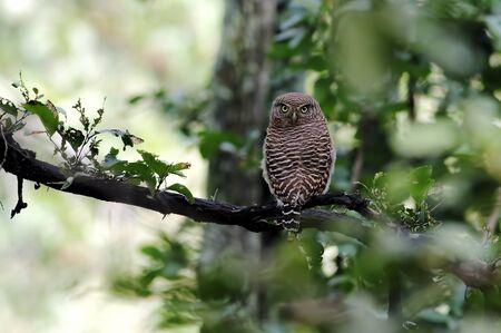owlet: Asian barred owlet Glaucidium cuculoides