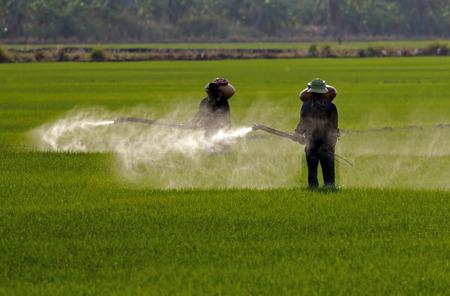 farm worker: Farmer spraying pesticide in paddy field