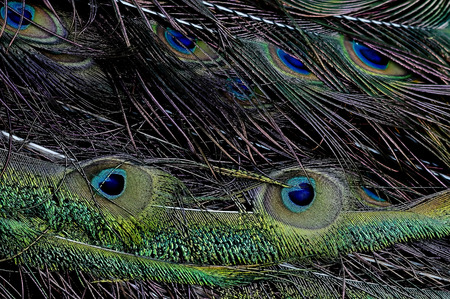 pavo: Green peafowl Pavo muticus feather Stock Photo