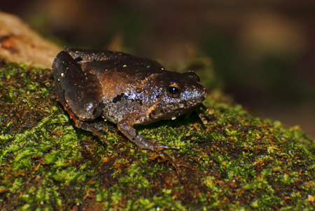 chorus: Berdmores Chorus Frog Microhyla berdmorei