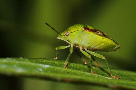 shieldbug: Southern Green Shieldbug, Green Stink Bug Nezara viridula