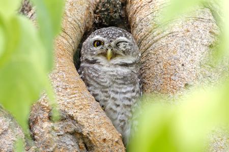 wink: Spotted owlet Athene brama Eye Wink