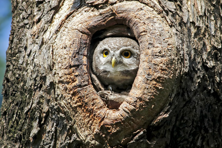 hollow tree: Spotted owlet Athene brama nest in tree hollow