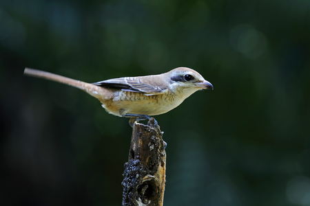 cristatus: Brown Shrike Lanius cristatus Birds of Thailand Stock Photo