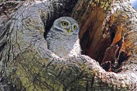 owlet: Spotted owlet Athene brama nest in tree hollow