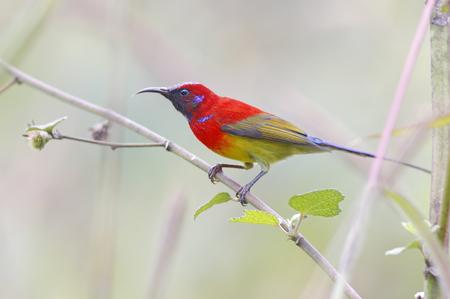mrs: Mrs Goulds sunbird Aethopyga gouldiae Male Birds of Thailand Foto de archivo