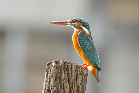 common kingfisher: Common Kingfisher Alcedo atthis Female Birds of Thailand
