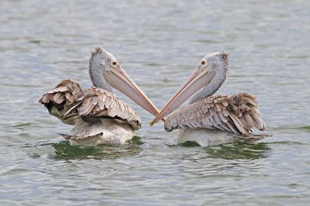 billed: Spot-billed pelican Pelecanus philippensis Birds of Thailand Stock Photo